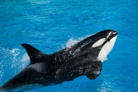 Killer whale performing in marine park show
