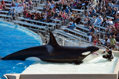 NOVEMBER 14th, 2010, SAN DIEGO, USA - Killer whale performing in the show of San Diego Seaworld
