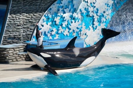 NOVEMBER 14th, 2010, SAN DIEGO, USA - Killer whale performing in the Shamu stadium of San Diego Seaworld