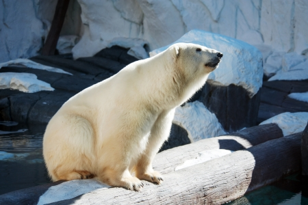 Polar bear posing in the zoo enclosure photo