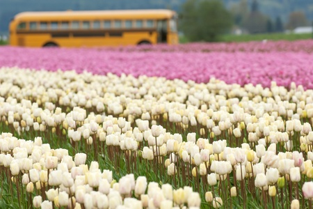 skagit: Tulip fields and schoolbus in Skagit valley, Washington