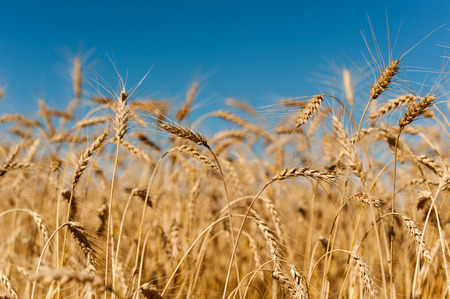 corn island: Golden wheat crops with blue sky in Canadian field