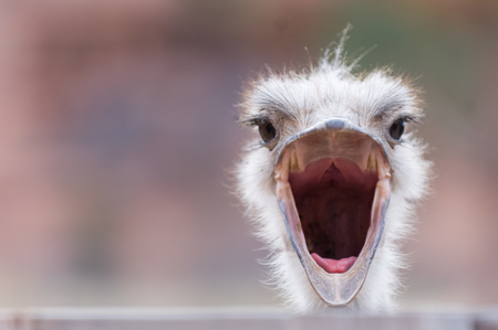 An ostrich with wide open beak, looking surprised Stock Photo