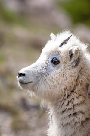 baby goat: Mountain baby goat in Jasper national park, Canada