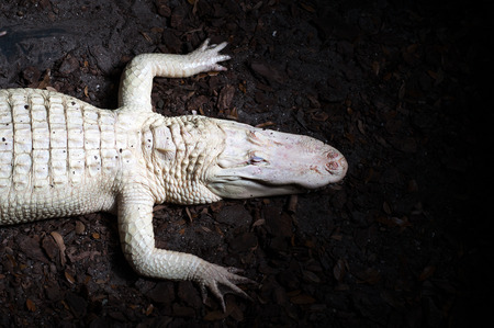 alligators: Rare albino alligator in the Florida swamp Stock Photo