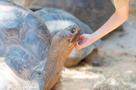 Ranger petting Giant Tortoise in the zoo