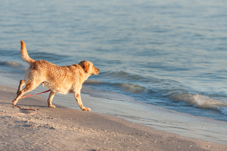 floridian: Happy dog playing with waves on Fort Meyers beach, Florida Stock Photo