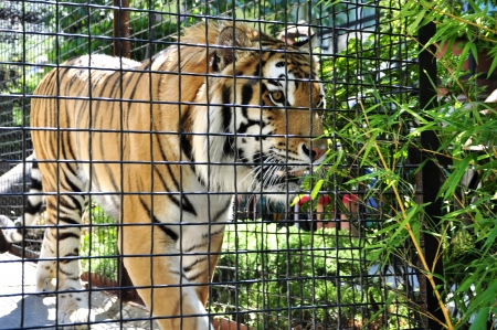 portrait of tiger in a cage in zoo