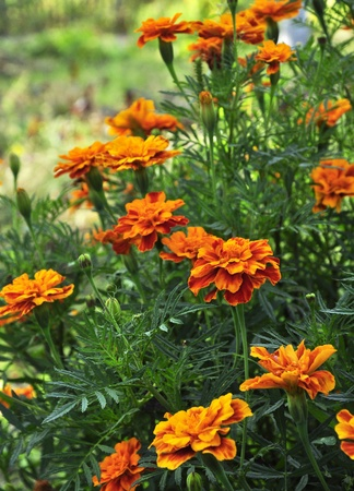 garden marigold: Marigold Flower Field and Sun Light Stock Photo