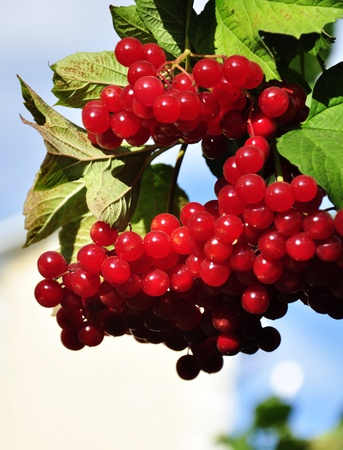 guelder: Viburnum  red branch close-up Stock Photo