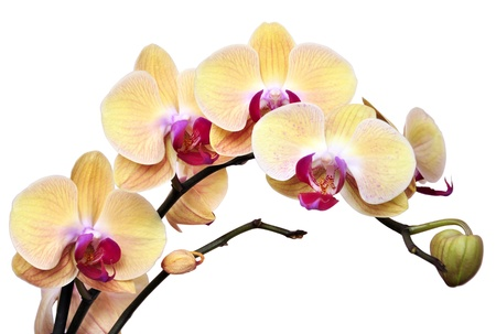 Yellow orchids on light pink background with clipping path