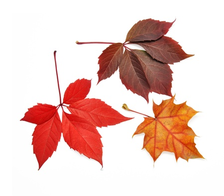 Isolated autumn leaves on white background with clipping path