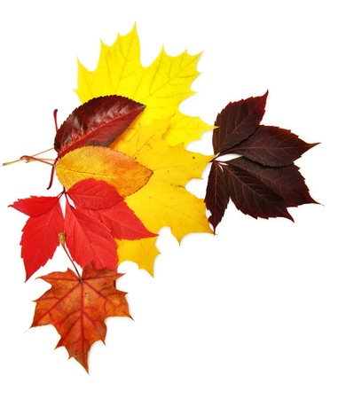 beautiful thanksgiving: colorful autumn leaves over white background with clipping path