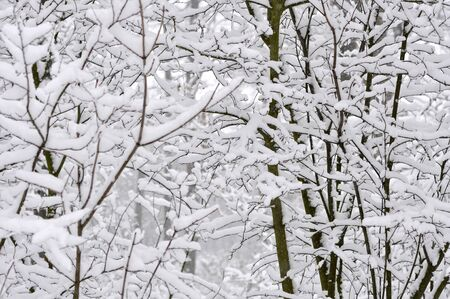 background of the branches of trees in the snow photo