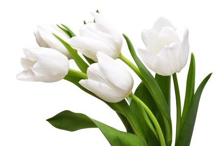 White tulips isolated on light background