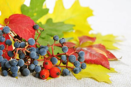 Composition from colorful autumn leaves, wild grape and rose hips. Small shallow dof photo