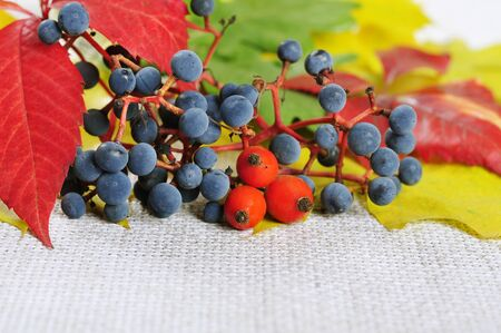 colorful autumn leaves and wild grape closeup photo