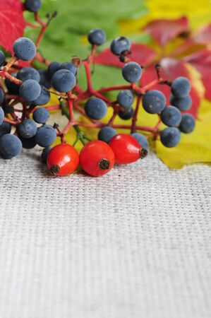 colorful autumn leaves, rose hips and wild grape closeup. Small shallow dof photo