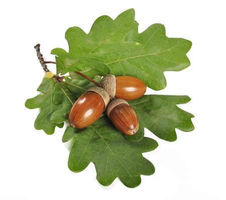 oak leaf: ripe acorn with green leaves isolated on white background Stock Photo