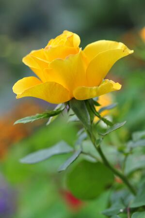 Yellow rose flower blossom outdoor. Small shallow dof. photo
