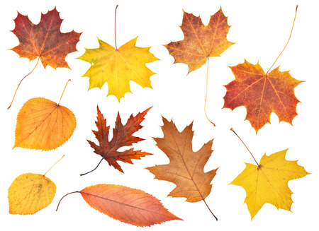 dry leaf: Set of beautiful colorful autumn leaves isolated on white
