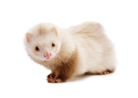 ferret: Cute red ferret  isolated on white background