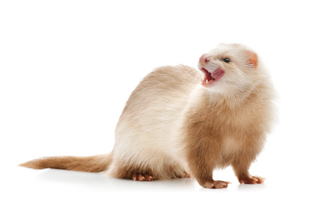 licking in isolated: Cute red ferret licking isolated on white background