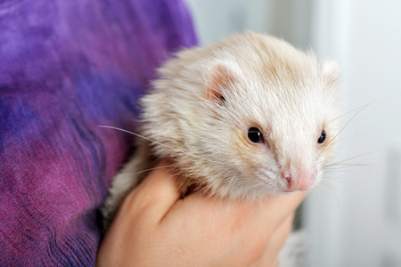 ferret: Cute red ferret in hands of young woman close up