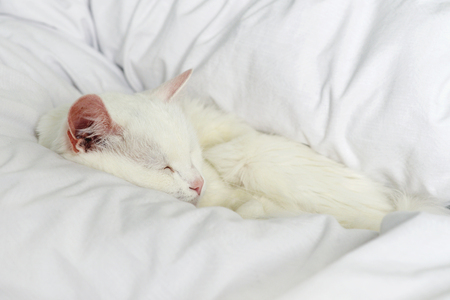 white cat: Pure white cat sleeping on bed with white bedding closeup