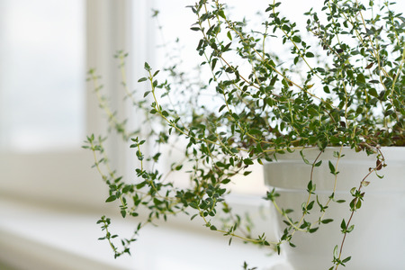 flower pot: Lemon thyme plant in a flower pot on windowsill.