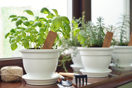 utensils: Fresh basil herb in pot on windowsill.