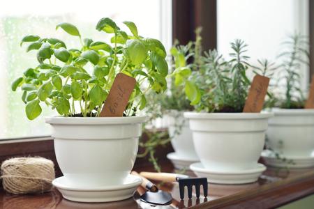 windowsill: Fresh basil herb in pot on windowsill.