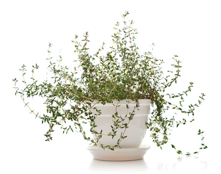 pots: Lemon thyme plant in a flower pot isolated on white background Stock Photo