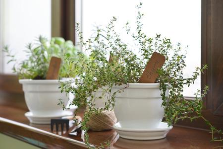 windowsill: Lemon thyme plant in a flower pot on windowsill. Shallow dof