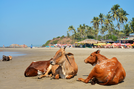 Cows laying on the beach of the sea in Vagator, Goa, India