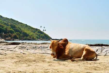 Cow laying on the beach of the sea in Vagator, Goa, India  Stock Photo