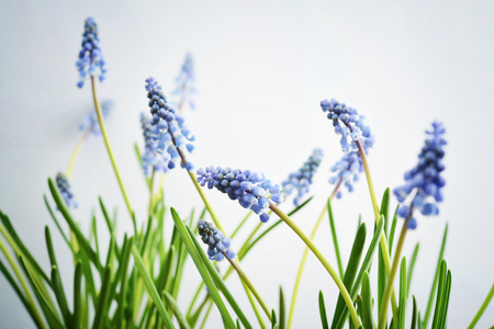First blue spring flowers Muscari on blue background closeup Stock Photo