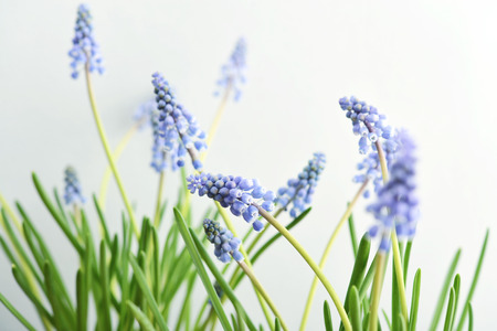 macros: First blue spring flowers Muscari on blue background closeup Stock Photo