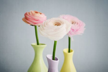 Persian buttercup flowers (ranunculus)in vases on blue background