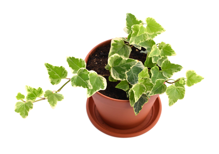 Home plant Hedera in flower pot isolated on white background
