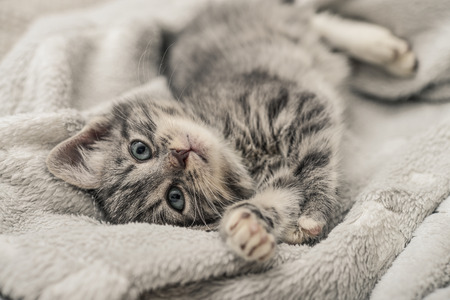 Cute little grey kitten lying on sofa closeup Stock Photo
