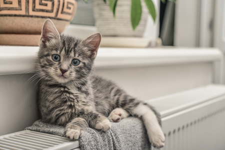 Cute little grey kitten with blue eyes relaxing on the warm radiator closeup Archivio Fotografico