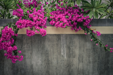Pink Bougainvillea flower growing on concrete wall outdoors on Maldives Stock Photo