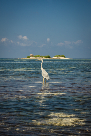 A heron hunting in the sea. White heron on the hunt.