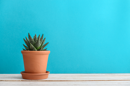 Cactus plant in flower pot. Potted cactus house plants on blue background