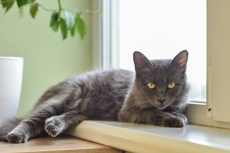 Gray cat Nebelung cat is lying on the windowsill at home. Nebelung-a rare breed, similar to the Russian blue, except for medium length, with silky hair. Stock fotó