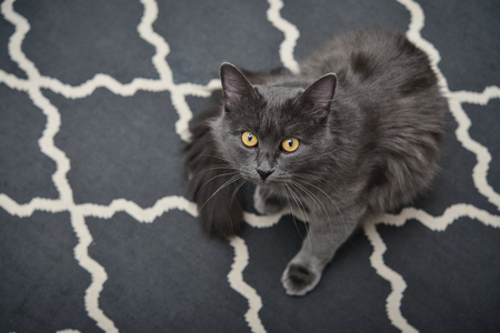 Gray cat Nebelung is sitting on carpet at home. Nebelung-a rare breed, similar to the Russian blue, except for medium length, with silky hair.