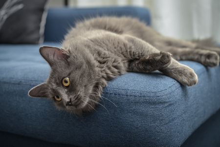 Gray cat Nebelung cat is lying on the sofa at home. Nebelung-a rare breed, similar to the Russian blue, except for medium length, with silky hair. Banque d'images