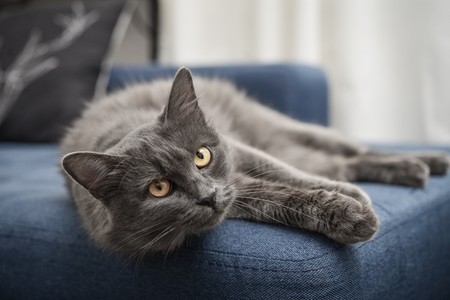 Gray cat Nebelung cat is lying on the sofa at home. Nebelung-a rare breed, similar to the Russian blue, except for medium length, with silky hair. 版權商用圖片