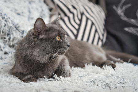 Gray cat Nebelung cat is lying on the sofa at home. Nebelung-a rare breed, similar to the Russian blue, except for medium length, with silky hair.